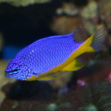 azure damsel chrysiptera hemicyanea  fish place