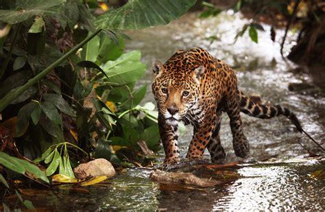el jaguar jaguar s blog en la sierra de nanchititla en busca del jaguar