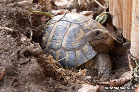 alimentazione tartarughe terrestri testudo hermanni galleria fotografica