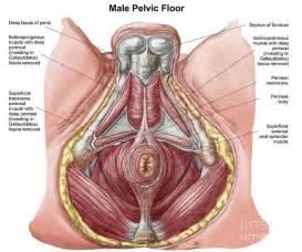 pelvic floor muscles male