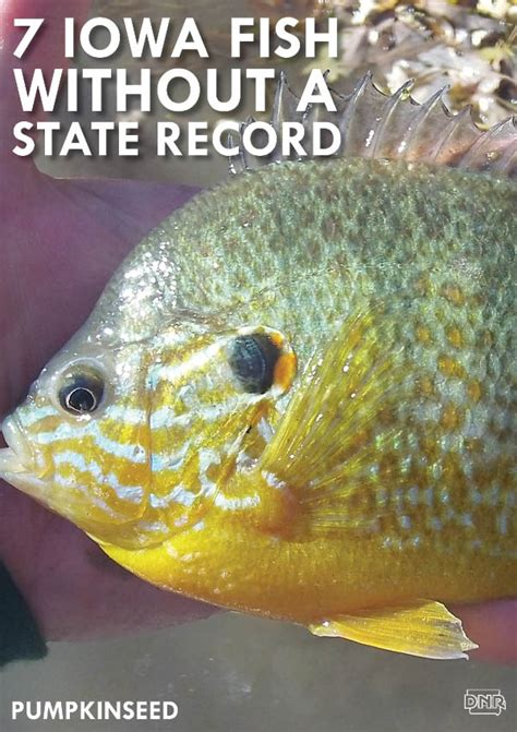 Iowa Records 7 Iowa Fish With Open State Records How To Catch A Record Fish Dnr News Releases