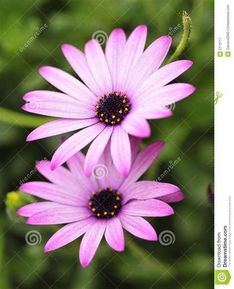 arbusto fiori viola fiori viola e bianchi gpsreviewspot