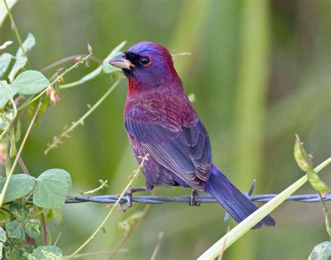histories of american cardinals grosbeaks buntings towhees finches sparrows and allies order passeriformes family fringillidae literature cited and index classic reprint books 17 best images about cardinals family cardinalidae on