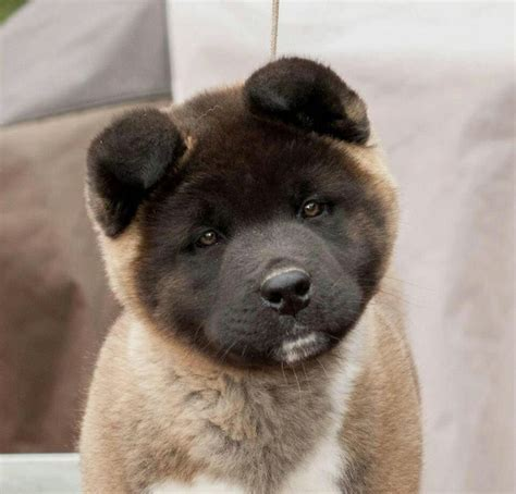 puppy this akita puppy this is the i want akitas