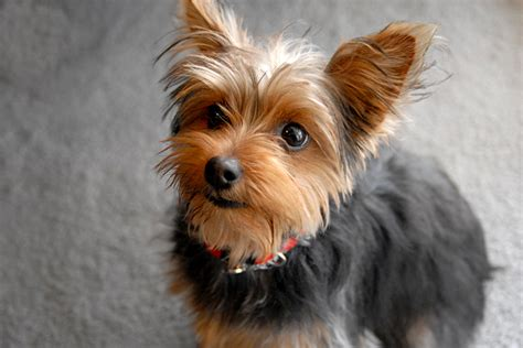 pic of teacup yorkie the gallery for gt teacup puppies