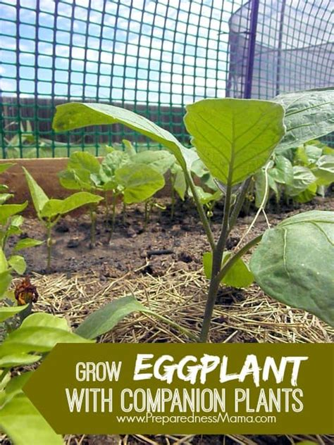 grow eggplant  companion plants preparednessmama