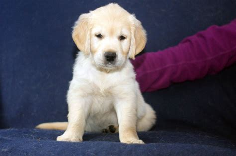 pedigree golden retriever puppies for sale beautiful pedigree golden retriever puppies spalding lincolnshire pets4homes