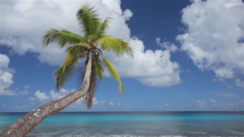 curved palm tree on golden sand beach with intense blue