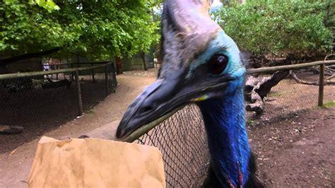 feeding a cassowary at wildlife park phillip island youtube