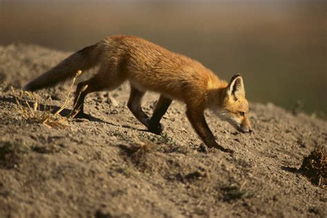 is a fox a fox habitat places where these cunning carnivorans live