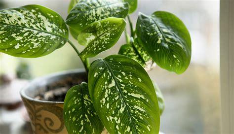 dumb cane dieffenbachia best low light houseplants 10 best indoor plants that require low maintenance