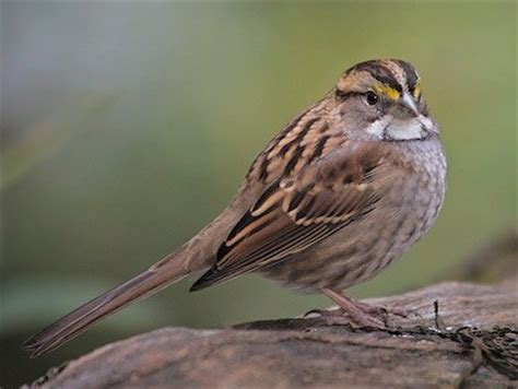 golden crowned sparrow identification all about birds