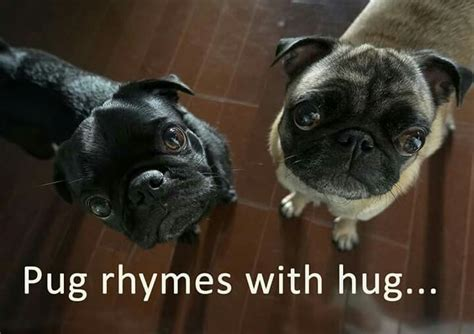 pug adoption wisconsin 19 best pug hugs wi pug rescue images on pug rescue hugs and adorable animals