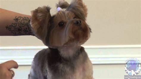 yorkie grooming instructions videos grooming a pet yorkie in the bella bottom trim part 2