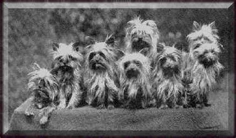 history of yorkies coronado yorkies terrier breed history and pictures terrier