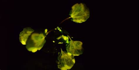 glow in the dark plants mit creates glow in the dark plants