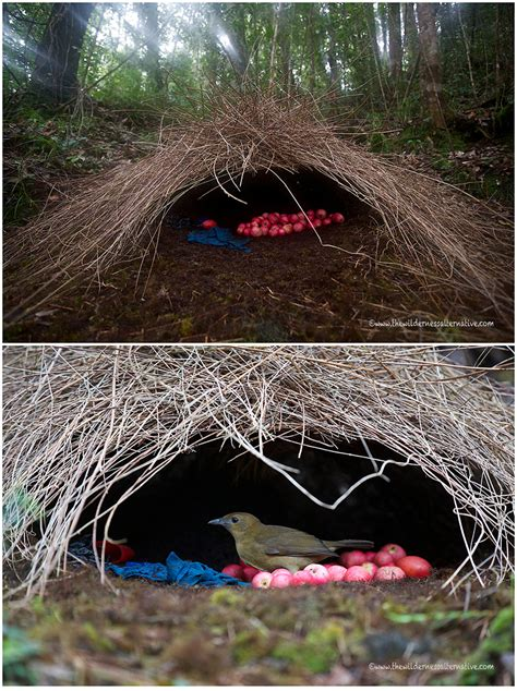 Decorating Houses by Animal Architects Bowerbirds Design Amp Build Showy