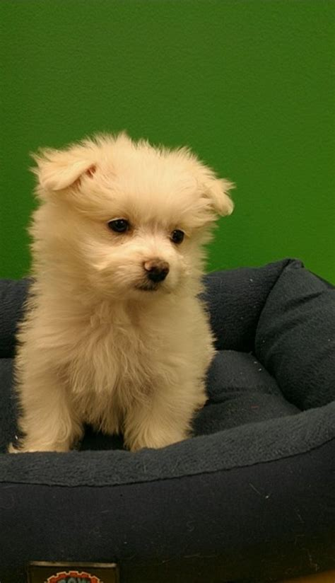 pomeranian malteser pomeranian maltese at the family puppy i want this
