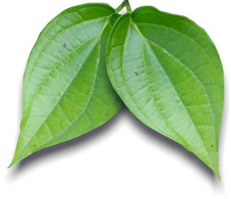 Daun Sirih Ramuan Obat milion benefits of betel leafe