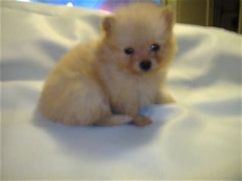pomeranian for sale omaha pomeranian puppies for sale