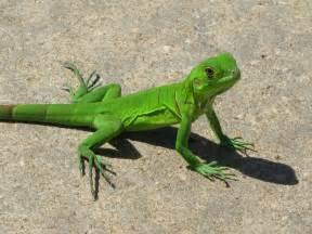 small green lizard wallpaper 17466 open walls