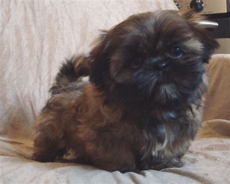 shih tzu puppies black and brown the gallery for gt shih tzu puppies brown and white black