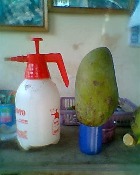 Bibit Jambu Air Yg Manis bibit tanaman buah langka unggul daerah kota blitar jenis