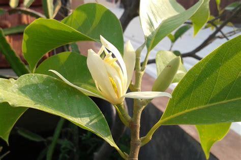 Pupuk Mkp Putih bunga kantil cempaka putih kebunpedia