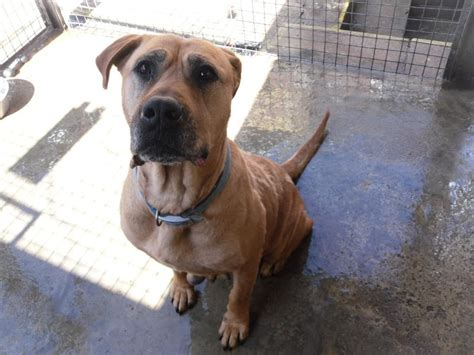 what breed of is scooby doo 9423 adorable large scooby doo lookalike sheffield south pets4homes