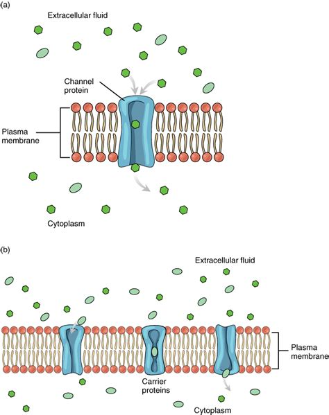 cell membrane anatomy  physiology