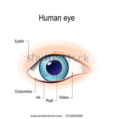 shark eye diagram iris eye diagram www pixshark images galleries