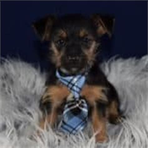 yorkie for sale maryland yorkie mix puppies for sale in pa yorkie mixed puppy adoptions