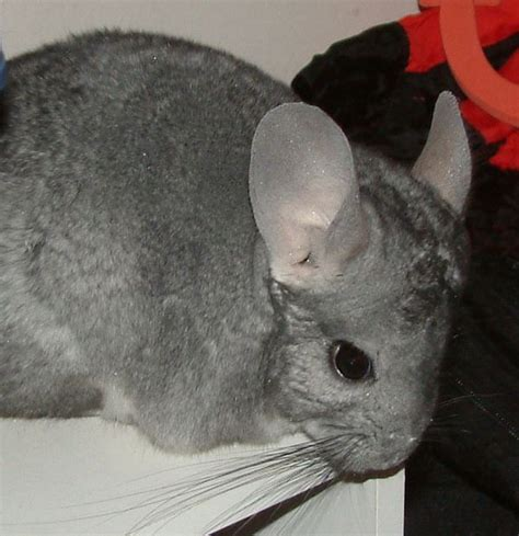 chinchillas are the softest pet but are they right for you chinchillas