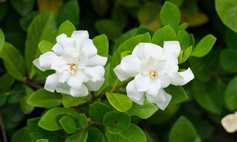high c gardenias ever blooming potted gardenia groupon goods