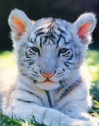 Guess Bengale white bengal tiger cub i m just laying here taking it all
