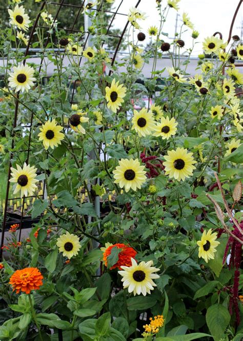 sunflower italian white buy   annies annuals