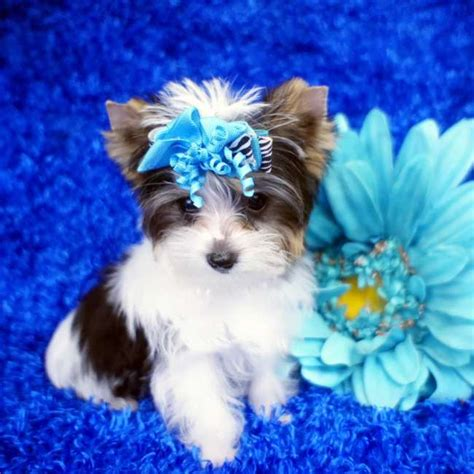 blue and gold teacup yorkie teacup parti yorkie for sale parti adonis teacup yorkies sale