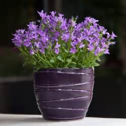 canula flowers in purple majesty container flowering