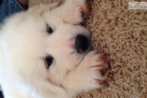 great pyrenees puppies nc great pyrenees puppy for sale near carolina d639e950 7121