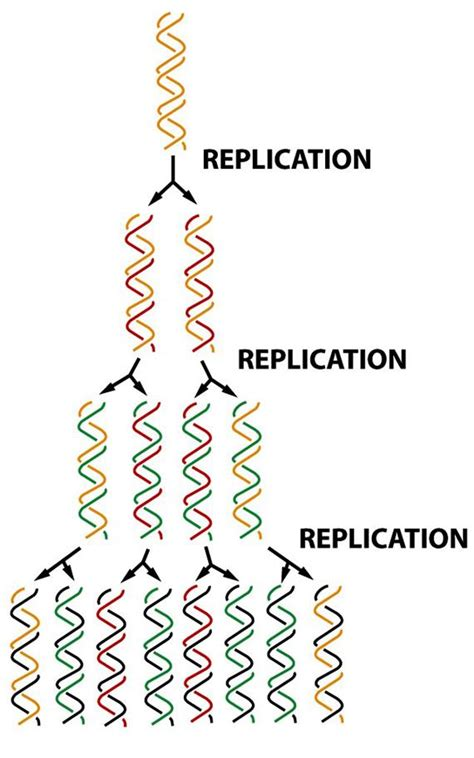 semiconservative replication involves a template what is the template basic biochemistry digital textbook library