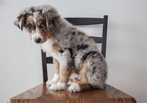 Baby Australian Shepherd Blue Merle