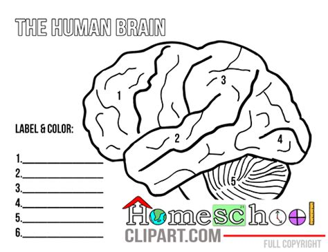 Brain Labeling Worksheet by Printable Neuron Diagram Printable Diagram Elsavadorla