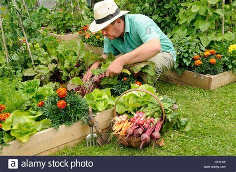 Gardener Harvesting Summer Vegetables From Raised Bed Summer Garden Vegetables