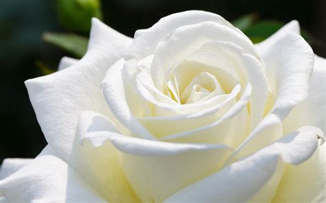 rosa blanca rose blanche white rose hd wallpapers hd wallpapers n hd images and