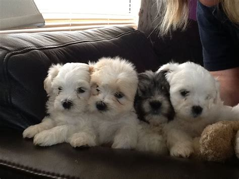 bichon frise and shih tzu puppy shih tzu bichon frise cross 3 dogs 1 uckfield east sussex pets4homes
