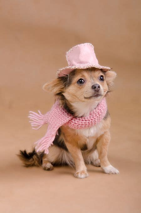 teacup yorkies for sale in ta fl 451 best images about fashionista on chihuahuas poodles and