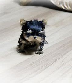 teacup puppies for sale in chicago adorable amazing cutie precious micro teacup poodle beautiful available