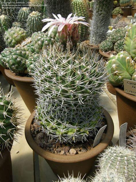 Synonyms For Garden by Plantfiles Pictures Gymnocalycium Gymnocalycium