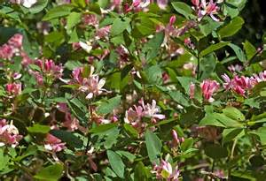 flowering shrub with pink flowers dogberry stock photo