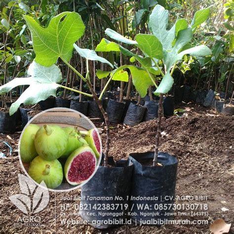 Bibit Buah Tin Green Yordan jual bibit buah tin green yordan stek 30 cm agro bibit id
